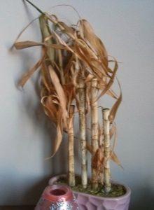 bambu de la suerte marron