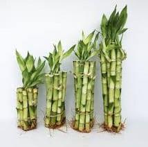 bambu de la suerte