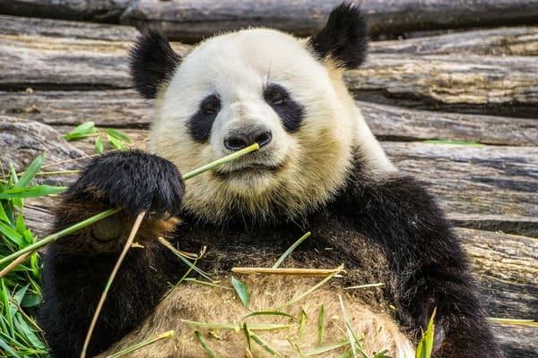 panda comiendo bambu