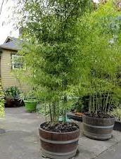 trasplantar bambú en jardineras