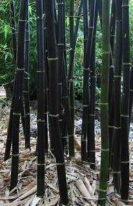 varas de bambu negro